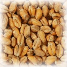 Malto in grani Château Wheat Blanc kg.5